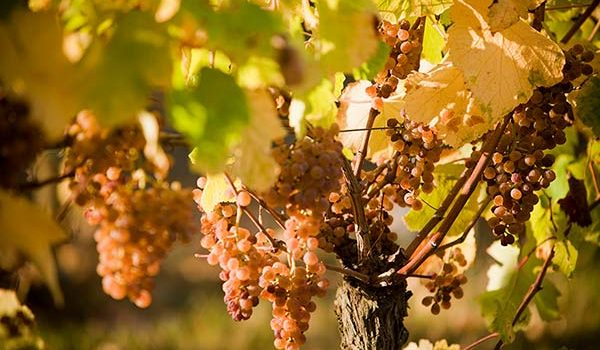 vins de Madiran et Vic Bilh cépage petit Manseng typique des Pyrénées