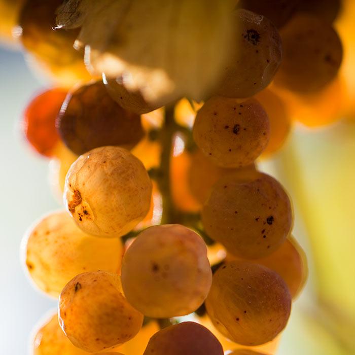 Raisins vendange tardive